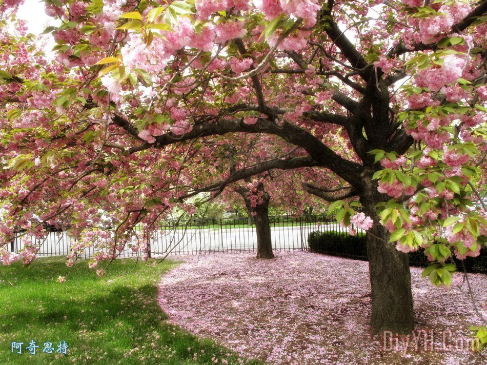 樱桃树 - 樱桃树装饰画