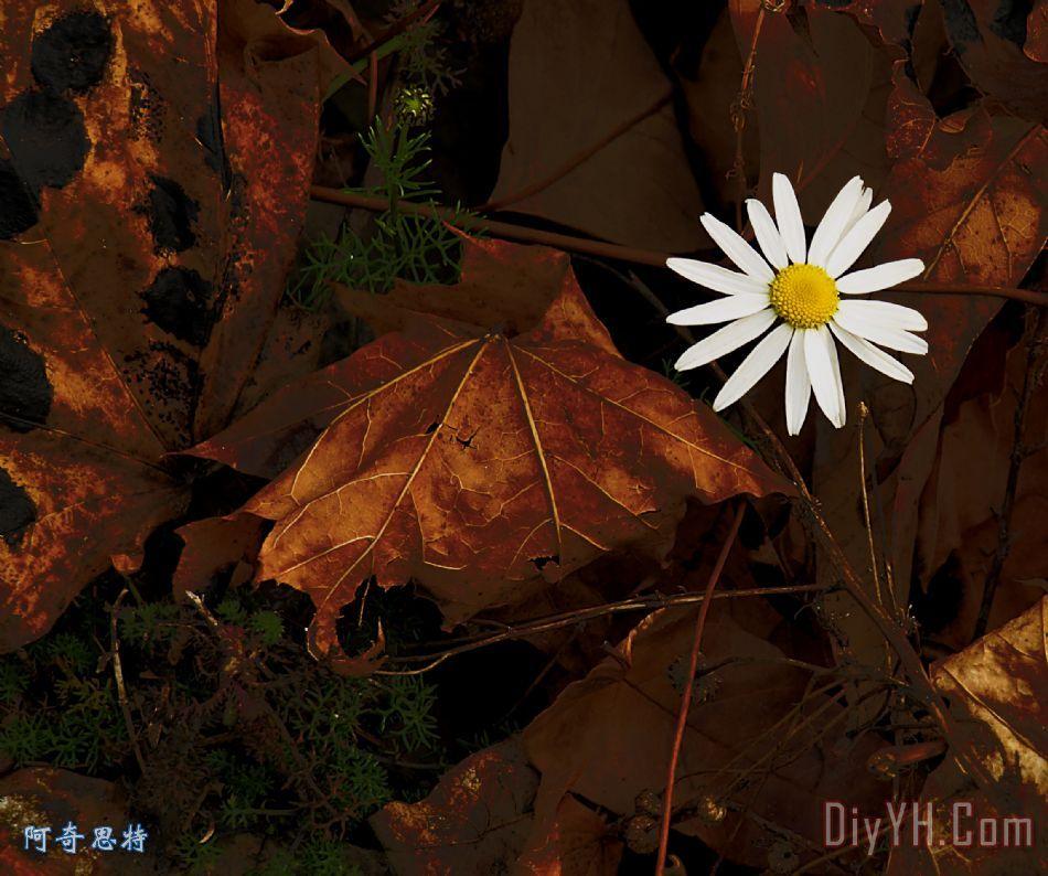 秋季花装饰画_风景_花卉_秋天_叶子_单一的_秋季花