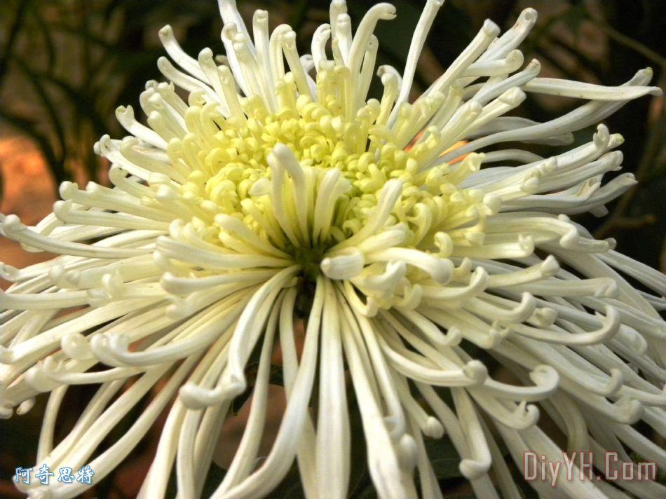 茉莉花装饰画_花卉_白色的花