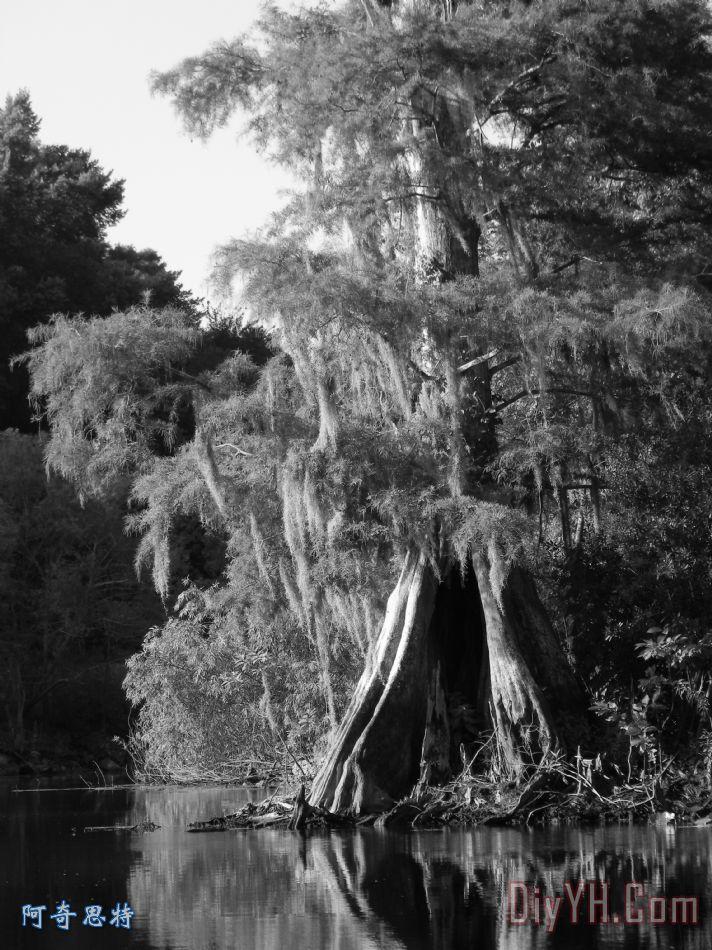 榕树简笔画黑白