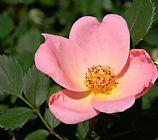 锡达礁狗蔷薇装饰画