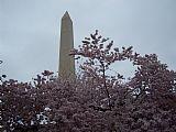樱花在华盛顿纪念碑装饰画
