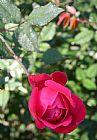玫瑰花园装饰画