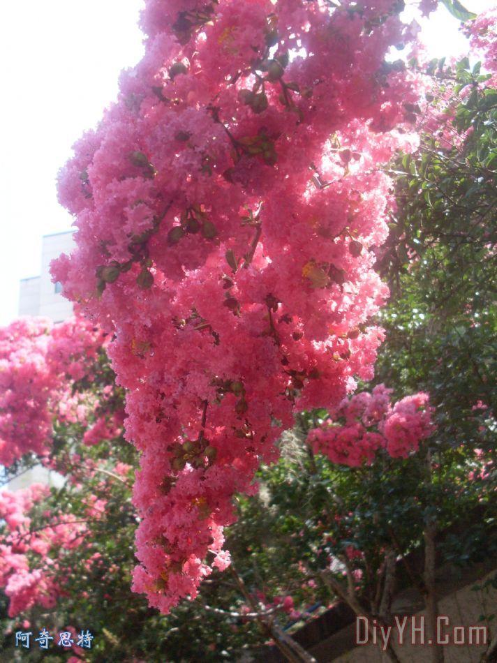 朦胧的粉红色的紫薇花