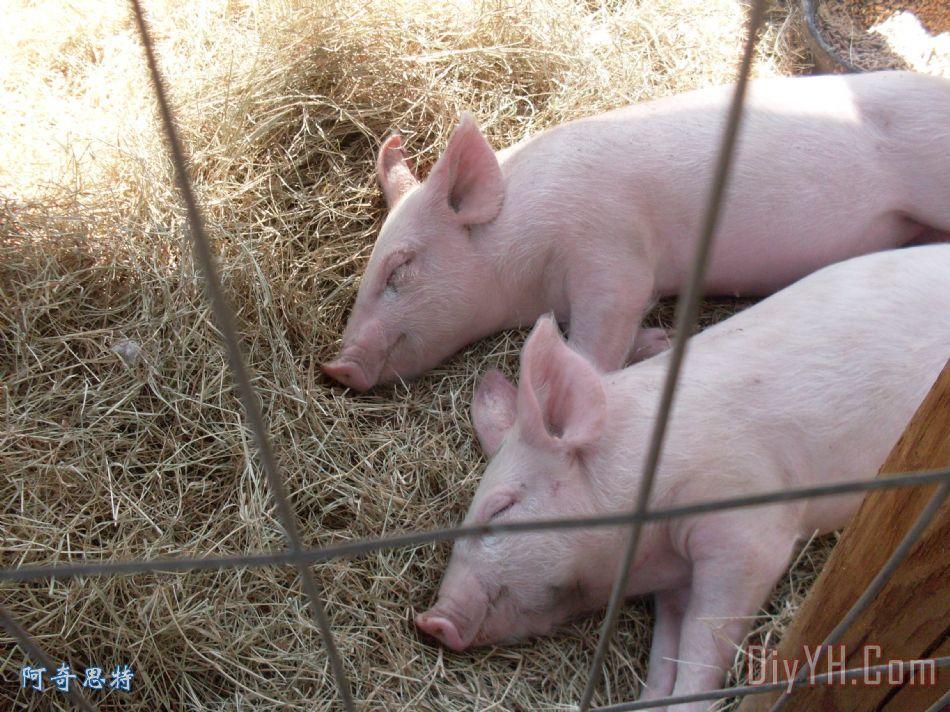 让睡觉的猪烈 - 让睡觉的猪烈装饰画