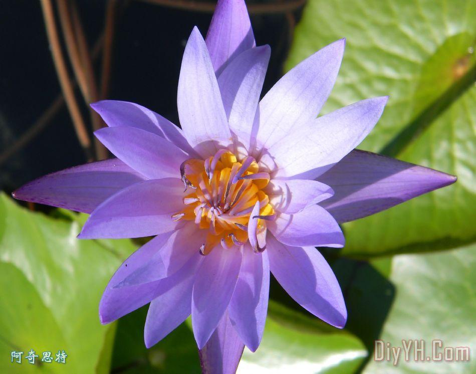 紫色和橙色莲花
