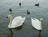 - 天鹅和鸭子