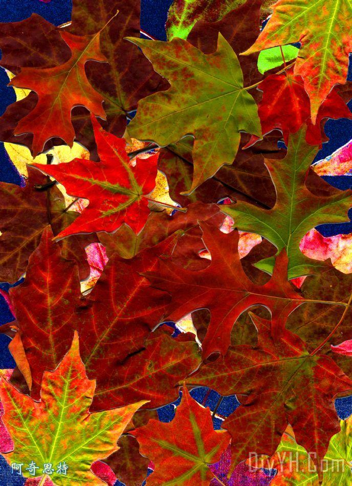 红叶 - 红叶装饰画
