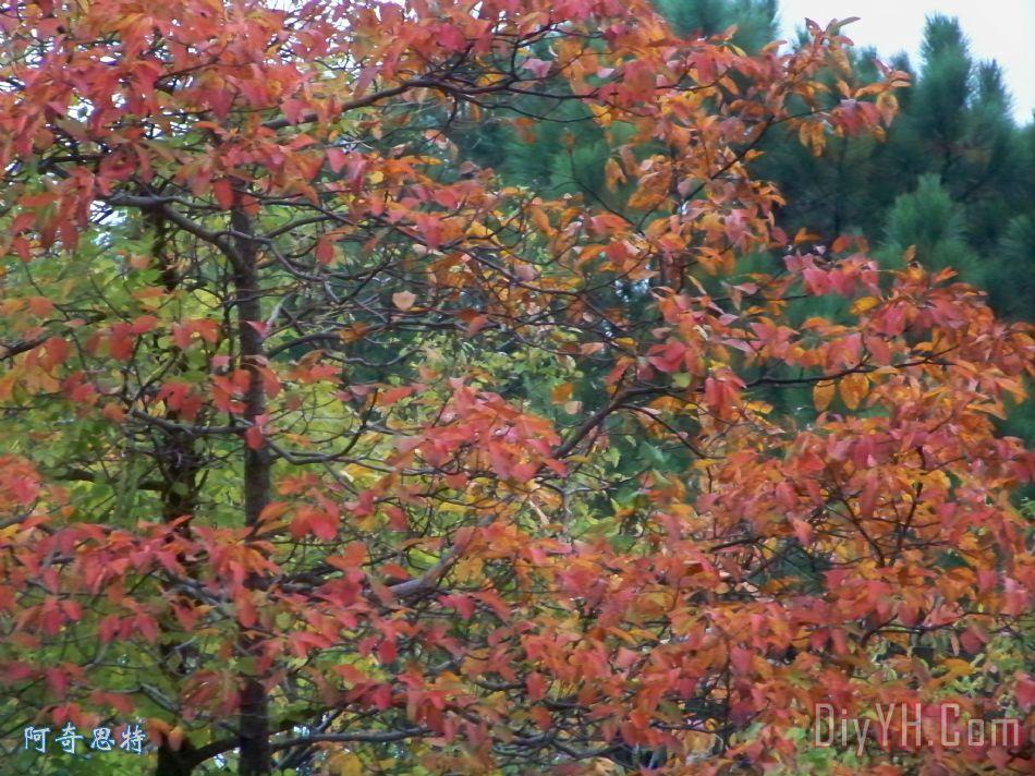 秋天树叶橙色 - 秋天树叶橙色装饰画