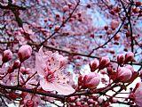 BLOSSOMS艺术蓝天春天树开花粉红办公电话Baslee特劳特曼装饰画