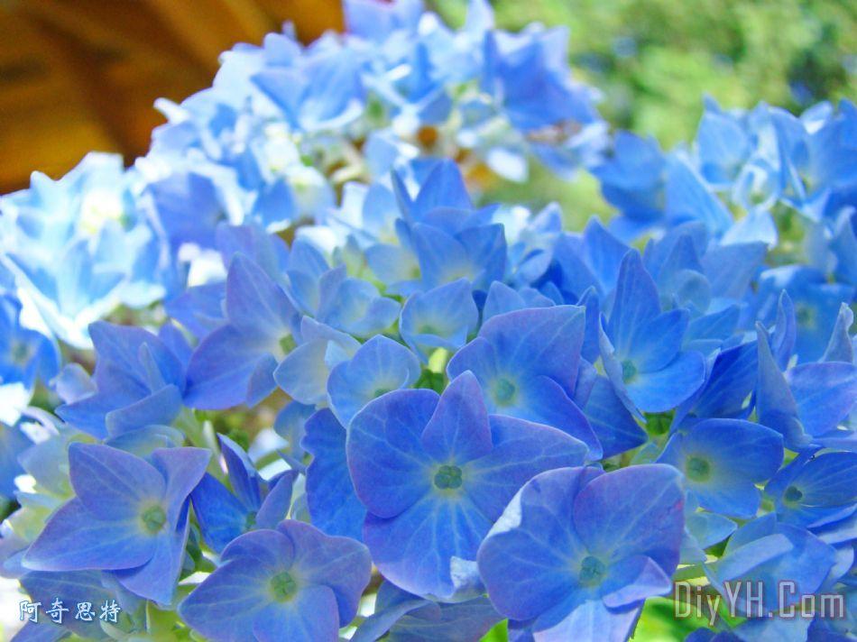 蓝色绣球花艺术版画夏季绣球baslee装饰画