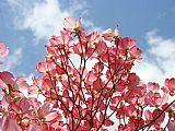 深红色 - 蓝天白云景观7粉红色的山茱萸树Baslee特劳特曼