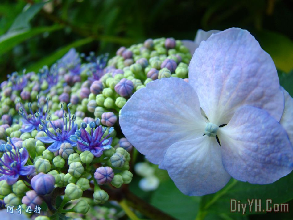 《请问这是什么植物?开蓝色的花. 》