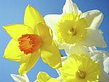 DAFFODILS艺术打印花天空花束水仙花卉Baslee装饰画