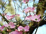 深红色 - 山茱萸花粉红色的山茱萸树景观9办公电话版画艺术Baslee特劳特曼