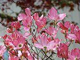 山茱萸树花盛开的艺术Baslee特劳特曼装饰画