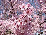 城市艺术 - 花卉春季艺术粉红花朵帆布Baslee特劳特曼
