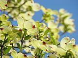 城市艺术 - 开花山茱萸树艺术打印白色山茱萸花蓝天艺术