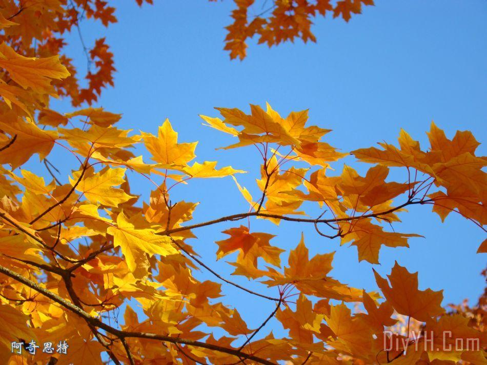 金黄闪光黄色橙色秋天树叶baslee特劳特曼装饰画_风景