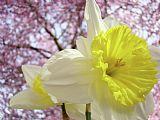 山水水仙花卉艺术粉红树开花春天Baslee装饰画