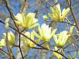 粉黄色玉兰树花装饰画