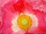 深红色 - 罂粟花粉红色的罂粟花艺术版画Baslee特劳特曼