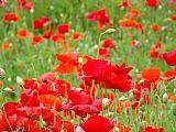 深红色 - 红色的罂粟花草甸版画艺术罂粟Baslee特劳特曼