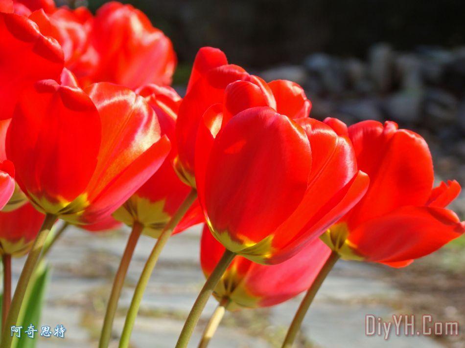 红色的郁金香花艺术版画春天花香