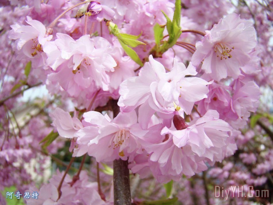 春天开花的树木艺术版画粉红色的花盛开baslee