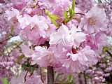 春天开花的树木艺术版画粉红色的花盛开Baslee装饰画