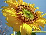 城市风光照片 - 葵花阳光照射的阳光花6蓝天办公电话版画艺术Baslee特劳特曼