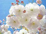 阳光明媚柔和的粉红春天树开花Baslee装饰画