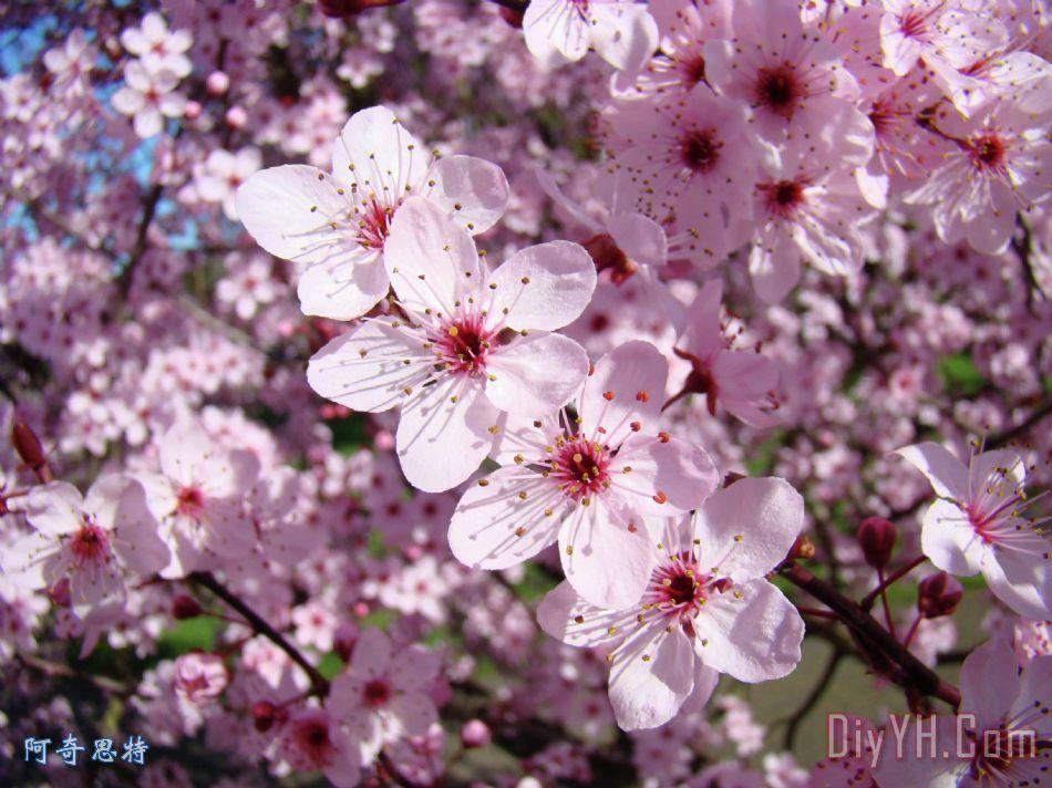 树盛开粉红春天开花的树baslee特劳特曼