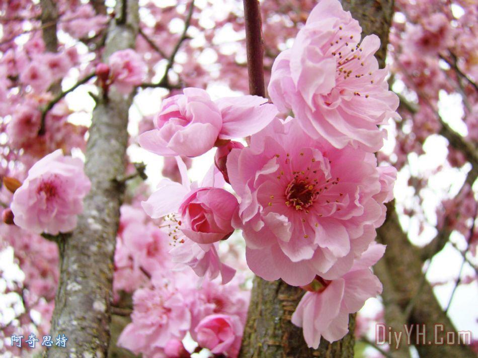 树木自然风景粉红春天鲜花盛开baslee特劳特曼