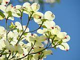 城市艺术 - 白色的山茱萸花1蓝天景观艺术品山茱萸树版画艺术画布裱