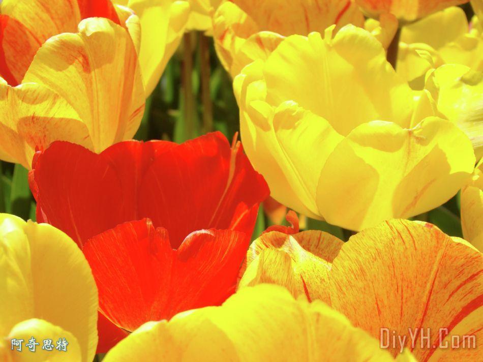 黄色红色郁金香花艺术版画baslee