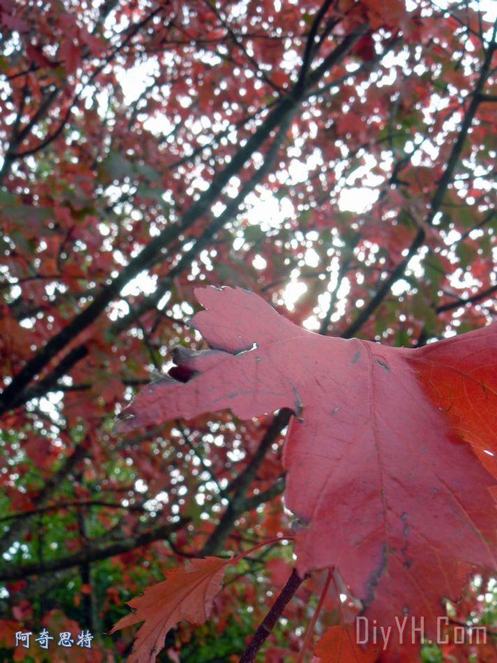 秋天的红枫叶树 - 秋天的红枫叶树装饰画
