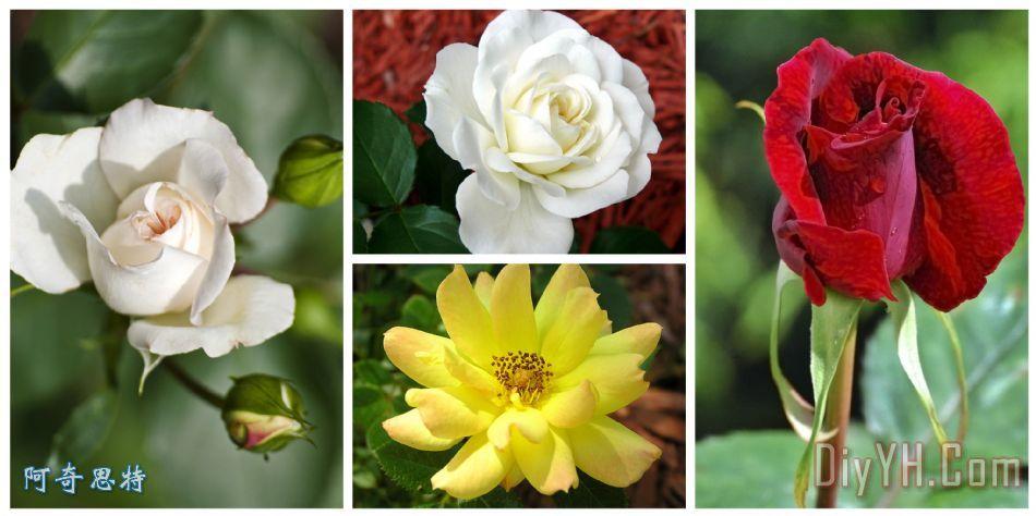 一朵玫瑰是一朵玫瑰装饰画 花卉 玫瑰花 一朵玫瑰是一朵玫瑰油画定制 图片