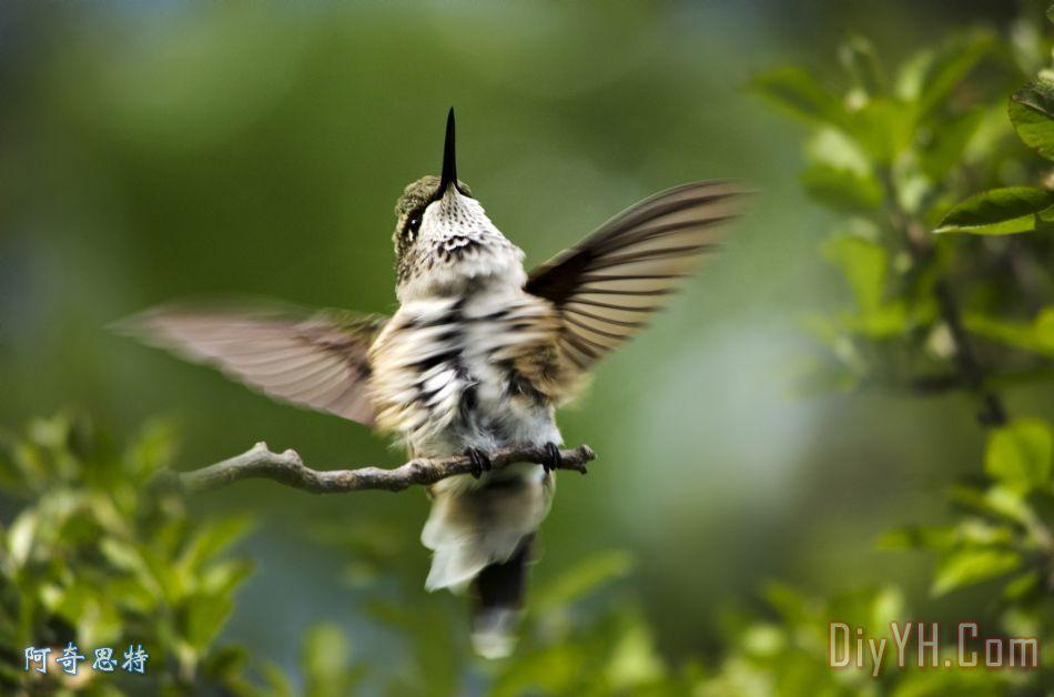 蜂鸟快乐舞蹈 - 蜂鸟快乐舞蹈装饰画