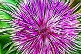 - 紫色的花形