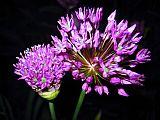 紫色烟花装饰画