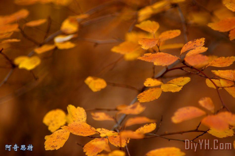 漂浮的橙色秋天树叶