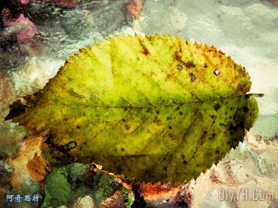 树叶画边-装饰画 植物 叶子 边缘有锯齿油画定制 阿奇思特