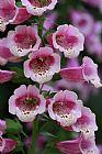 粉红色的荣耀装饰画