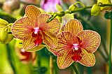Orchid5装饰画